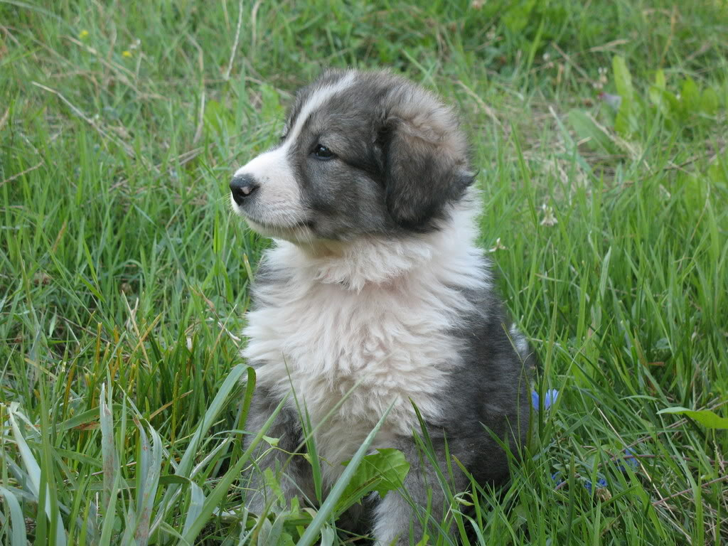 Carpathian Shepherd Puppy