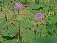 800年の眠りから目を覚まし一輪の、花を咲かせた。