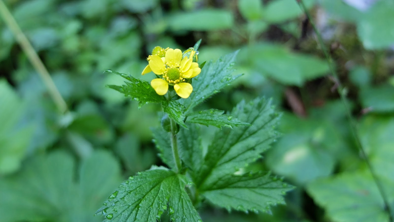 Geum macrophyllum (Largeleaf Avens)