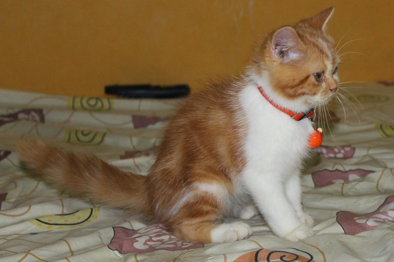 Harga Anak Kucing Persia Exotic Segitu Petshop