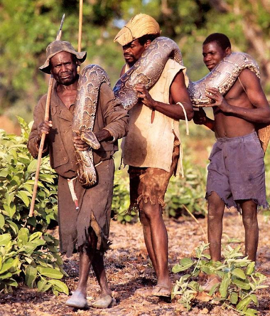 Shocking Pictures of an African Catching Python for a Living