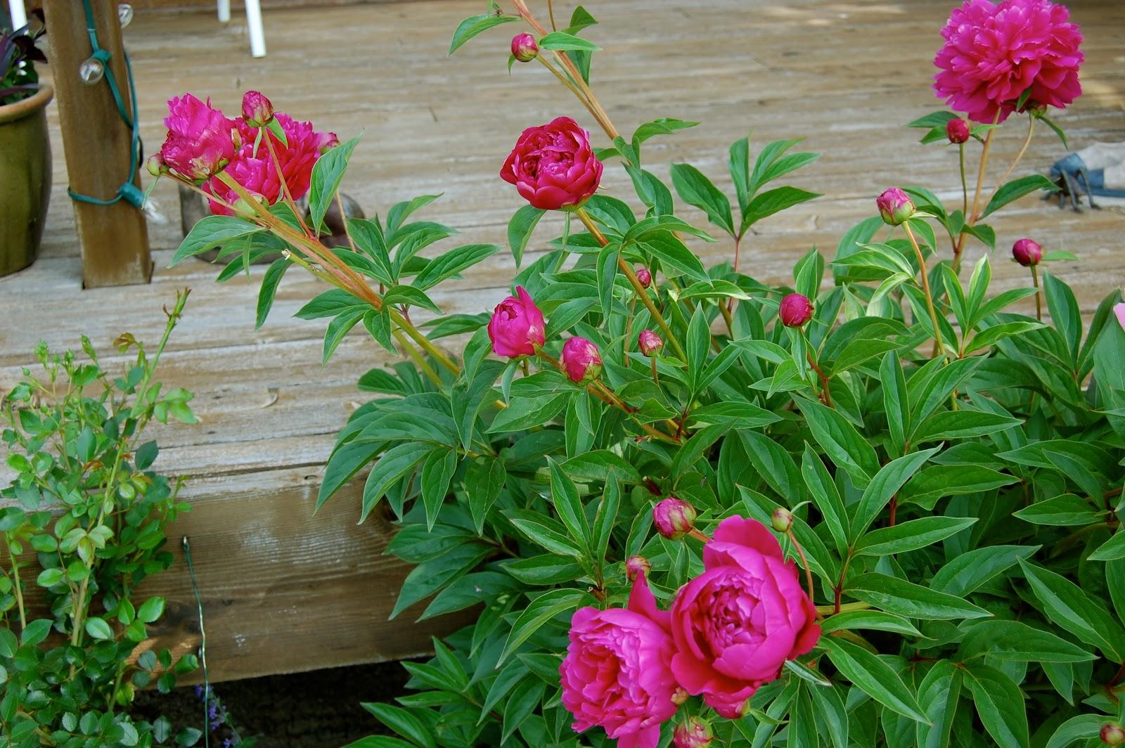Astrid 39 S Garden Design Top Perennials Part 4 Of Many