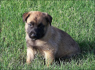 Cute Belgian Malinois Puppies Photos