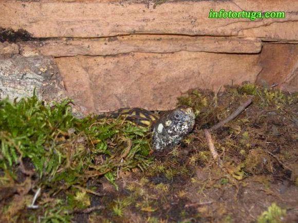 Terrapene ornata enterrada
