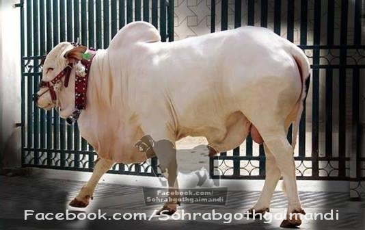 Surmawala Cattle Farm For 2013 For Sale