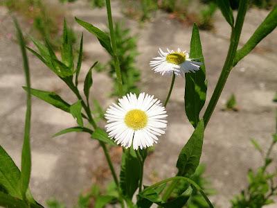 ヒメジョオンの花