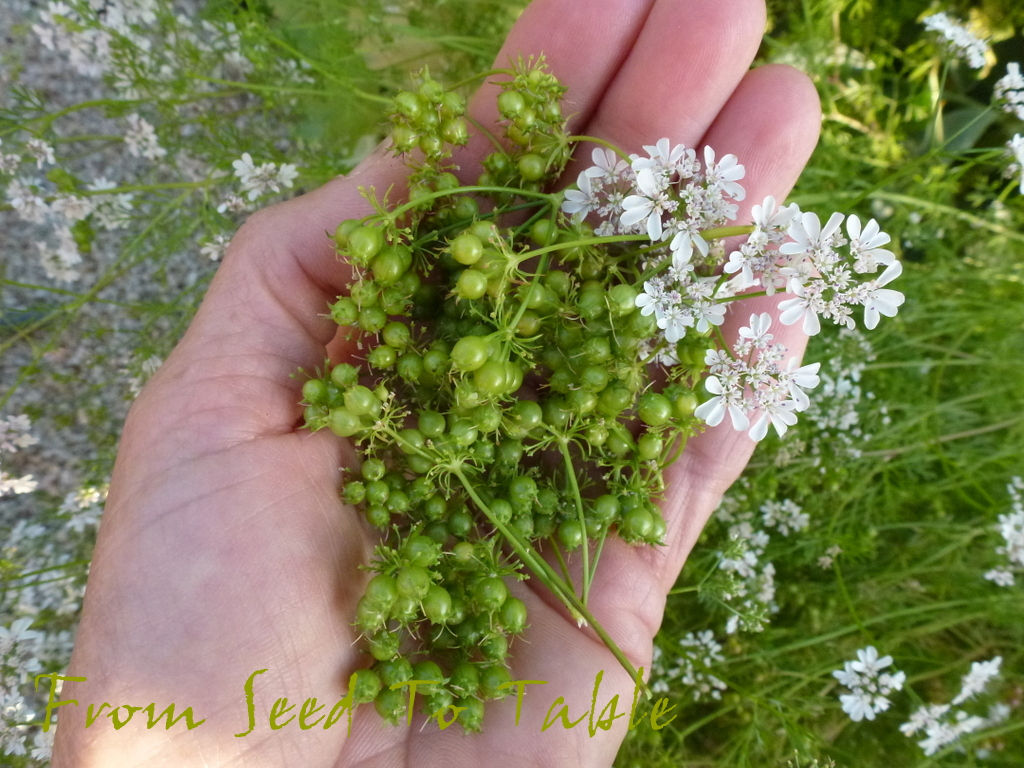 From Seed To Table: Fresh Coriander Seed1024 x 768 jpeg 480kB