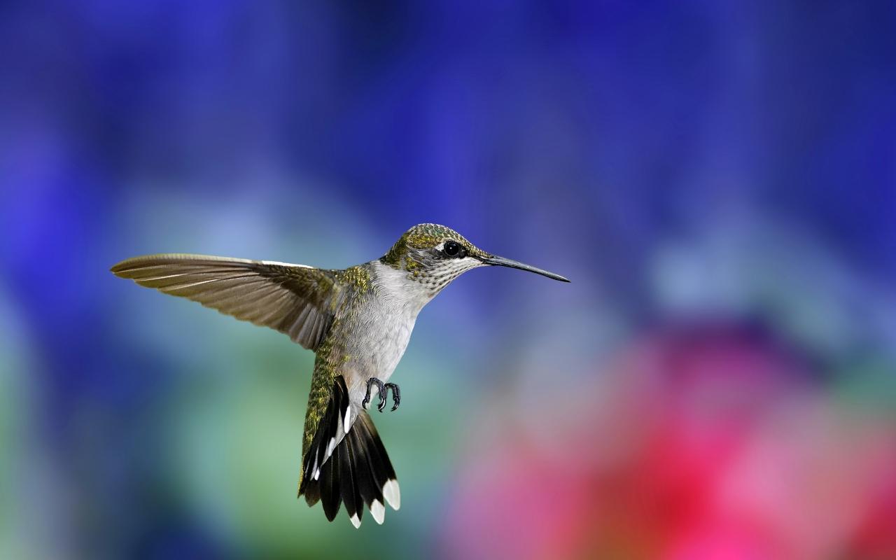 Colibri, HD Wallpaper