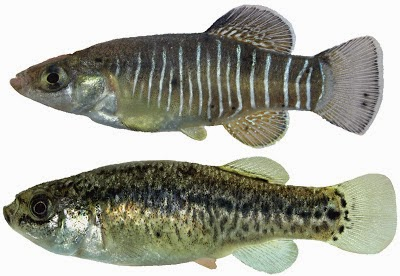 http://sciencythoughts.blogspot.co.uk/2012/08/a-new-species-of-toothcarp-from-iran.html