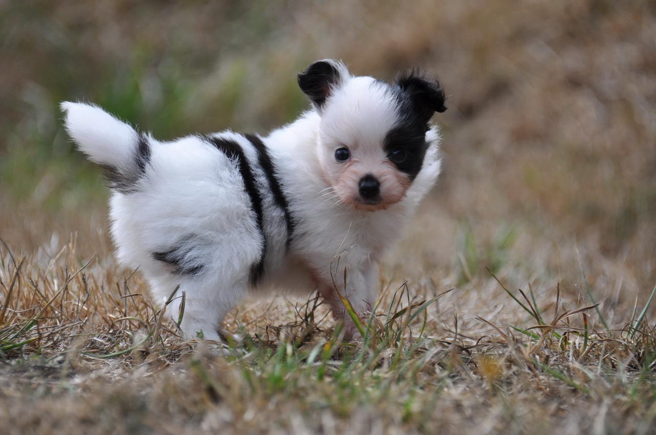 ... short haired medium sized dog breeds types of breeds of dogs mini dog