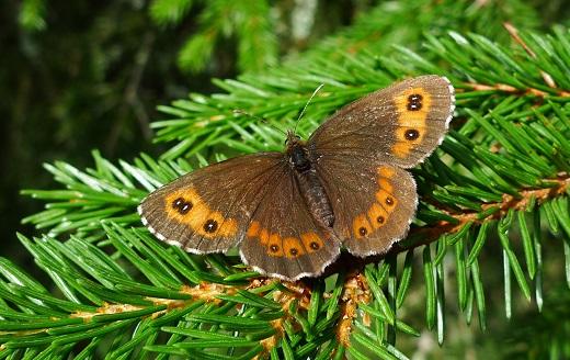 Skogsgräsfjäril - Erebia ligea