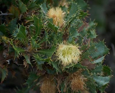Banksia (Dryandra) glaucifolia