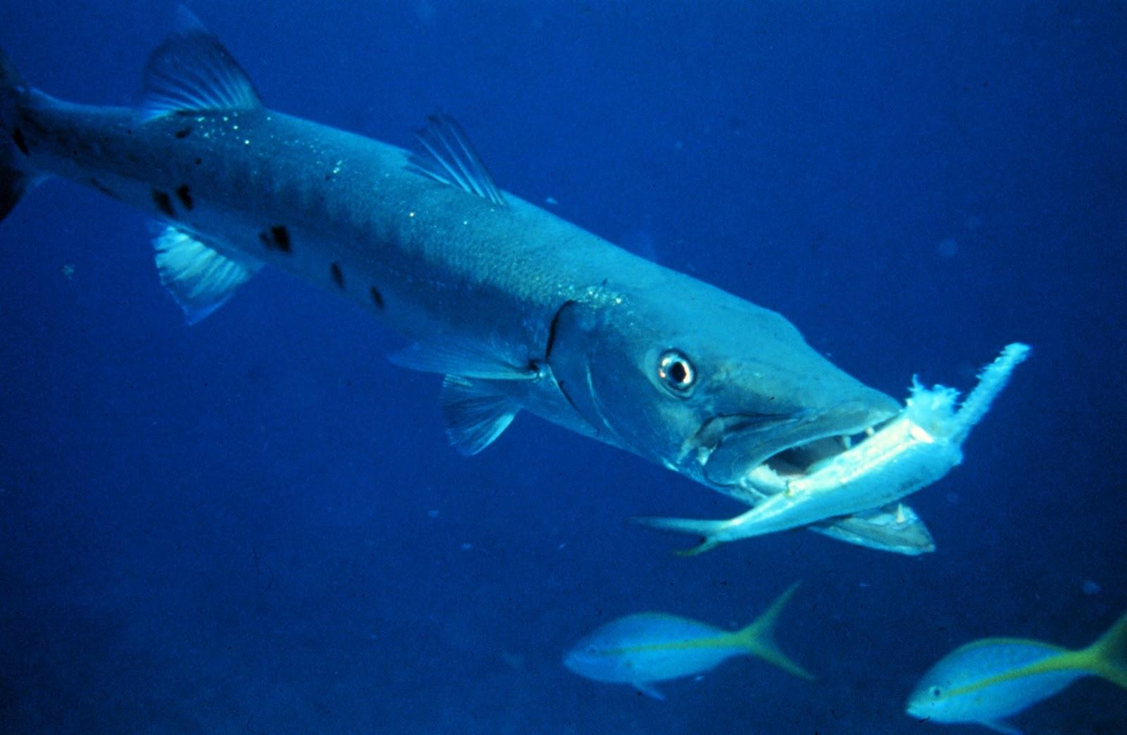 ghost hunting theories killer fish barracudas piranhas