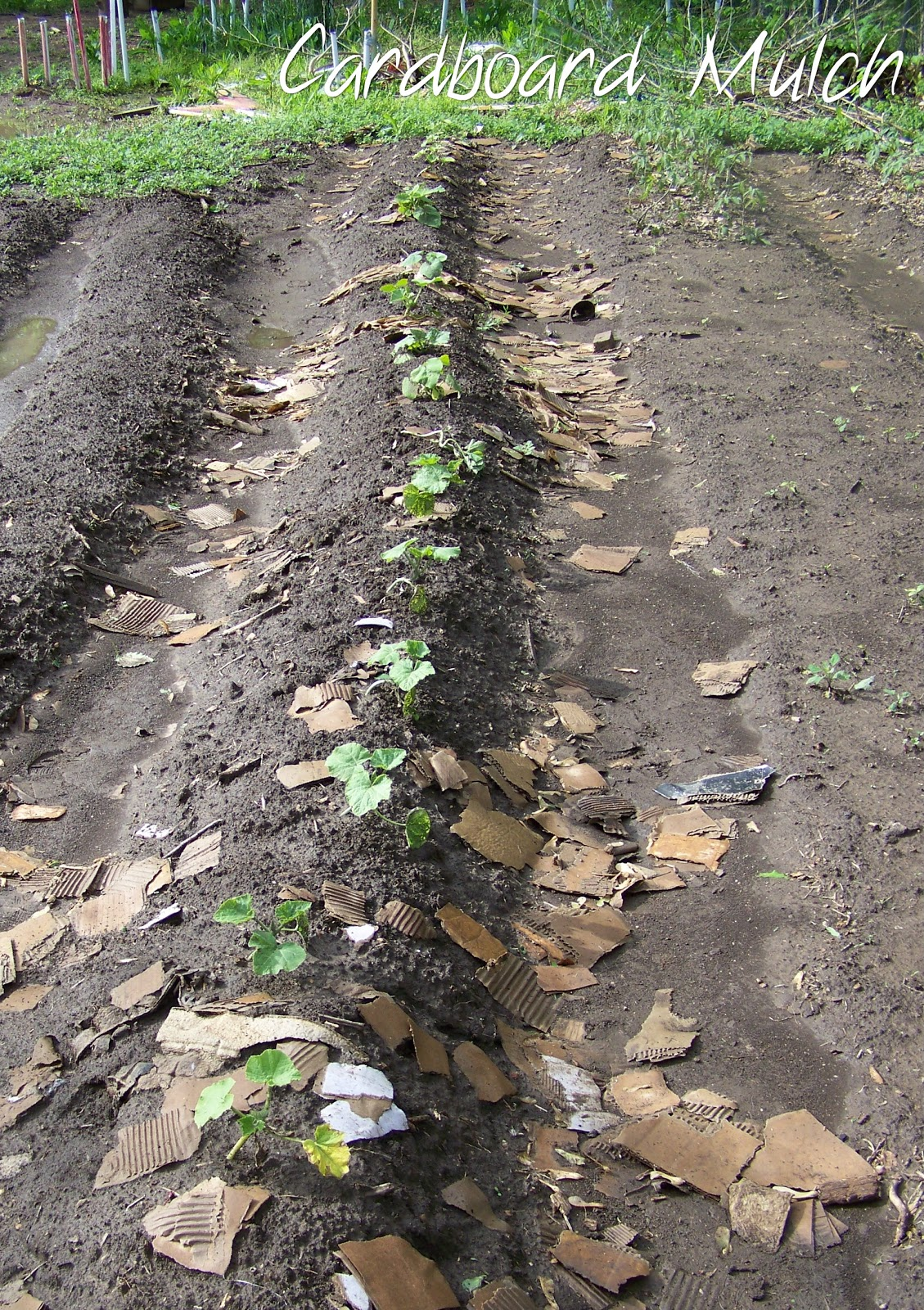 poppy juice inexpensive mulch   garden