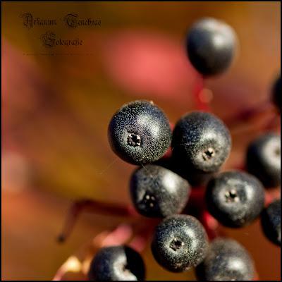 Frucht des Holunders