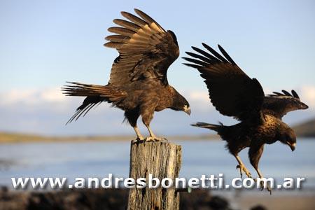 Caracara - Striated Caracara - Isla Carcass - Carcass island - Islas Malvinas - Patagonia - Falkland Islands - Andrés Bonetti