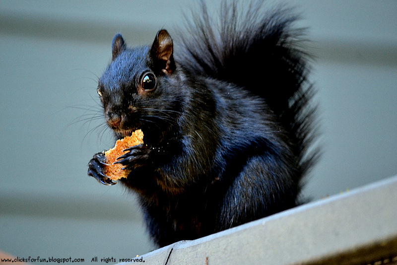 common black squirrel friendly animal eating crackers neighborhood gardens homes california photos blogger