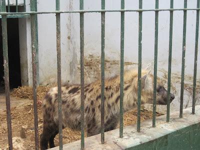 Hiena del zoo de Dakar