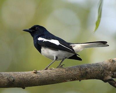 นก กางเขน นกพิราบ หรือ นก