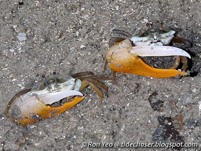 Orange Fiddler Crabs (Uca vocans)