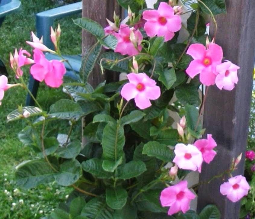 Jual pohon mandevila | supllier tanaman | jasa tukang taman