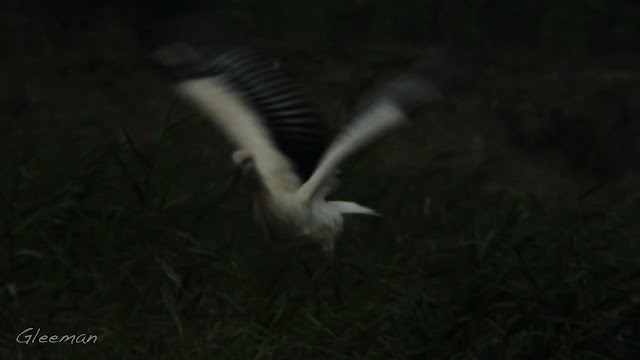 東方白鸛於關渡。關渡自然公園