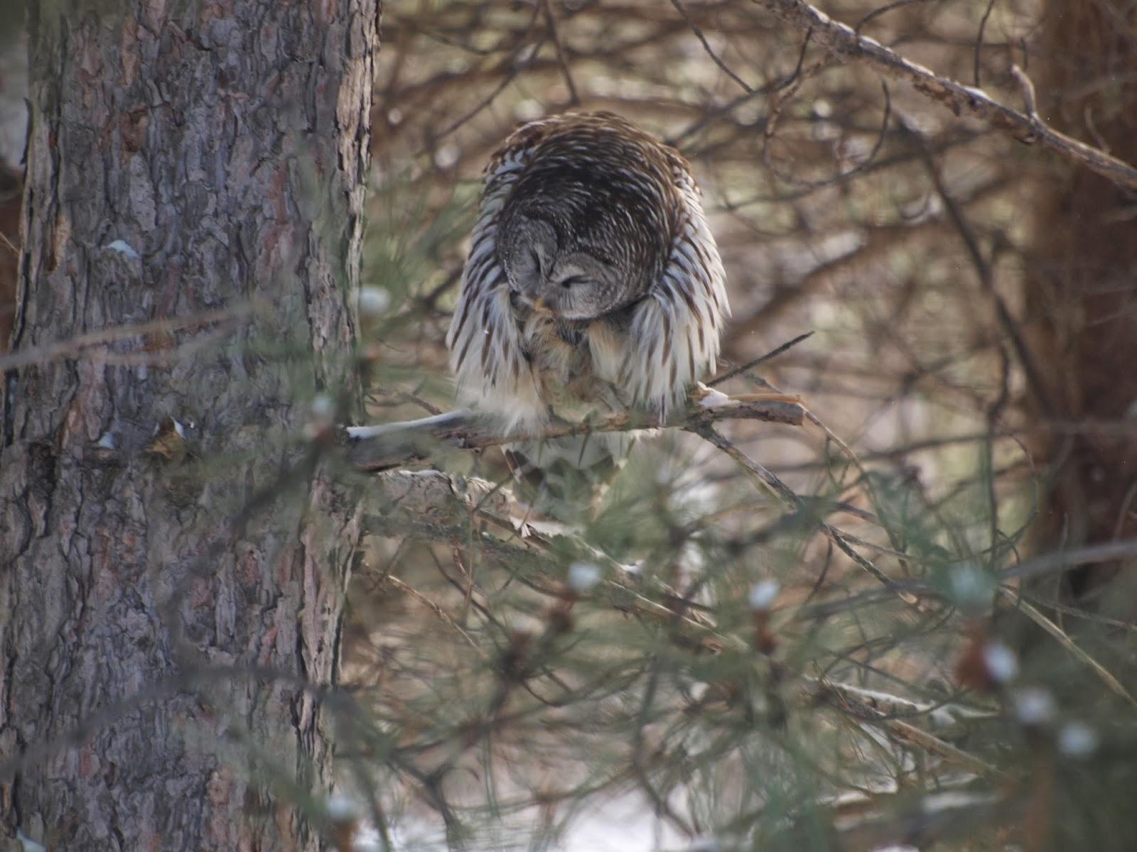 http://en.wikipedia.org/wiki/Barred_Owl