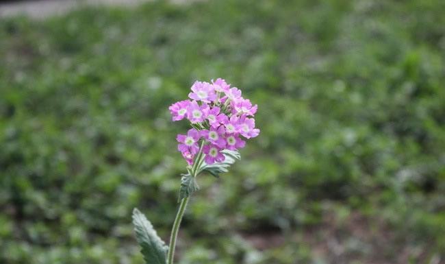 Verbena Flowers Pictures