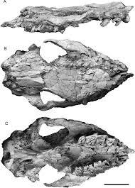 Hispanotherium skull