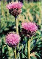 травы для усиления потенции | Левзея сафлоровидная