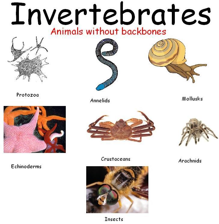 Invertebrates Animals Most animals are invertebrates