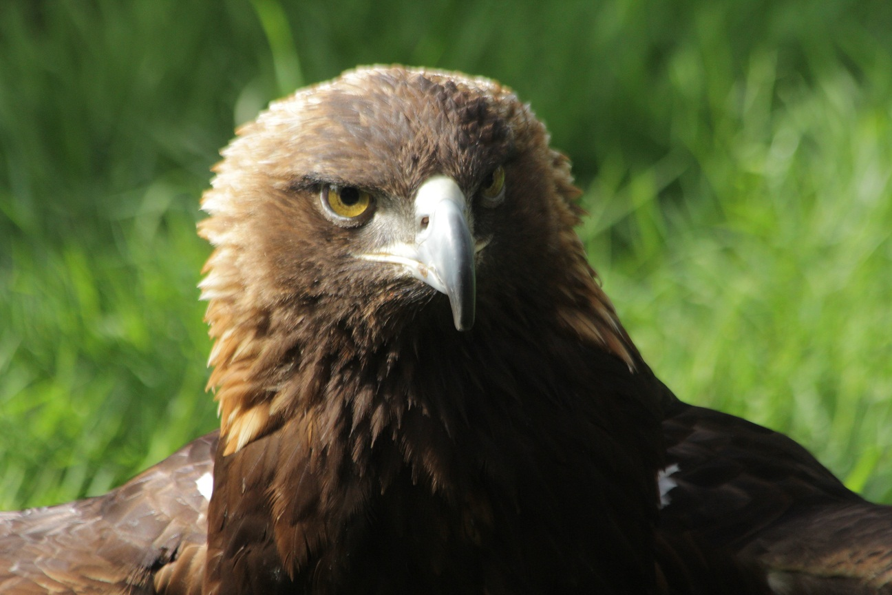 golden eagle catholic single women Eagle as eagles fly high and are sharp-sighted, they signify rational things that this is the case may be seen from many passages in the word, of which in confirmation we may adduce the following.