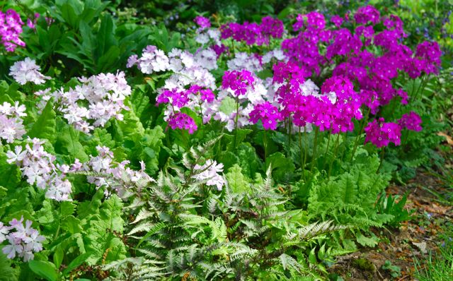 I was captivated by the large planting of light and dark pink Japanese woodland primroses (Primula sieboldii).