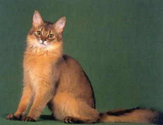 fotografía tomada de un gato somalí
