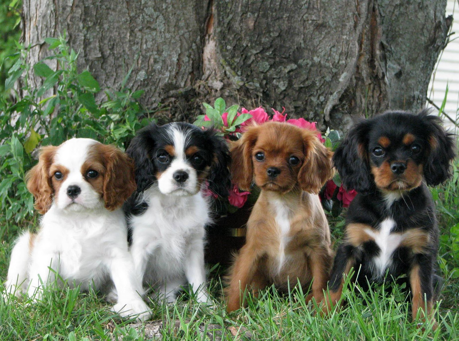 Cavalier King Charles Spaniel as a Puppy Free Download Wallpaper