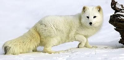 Foto del Zorro ártico o zorro polar