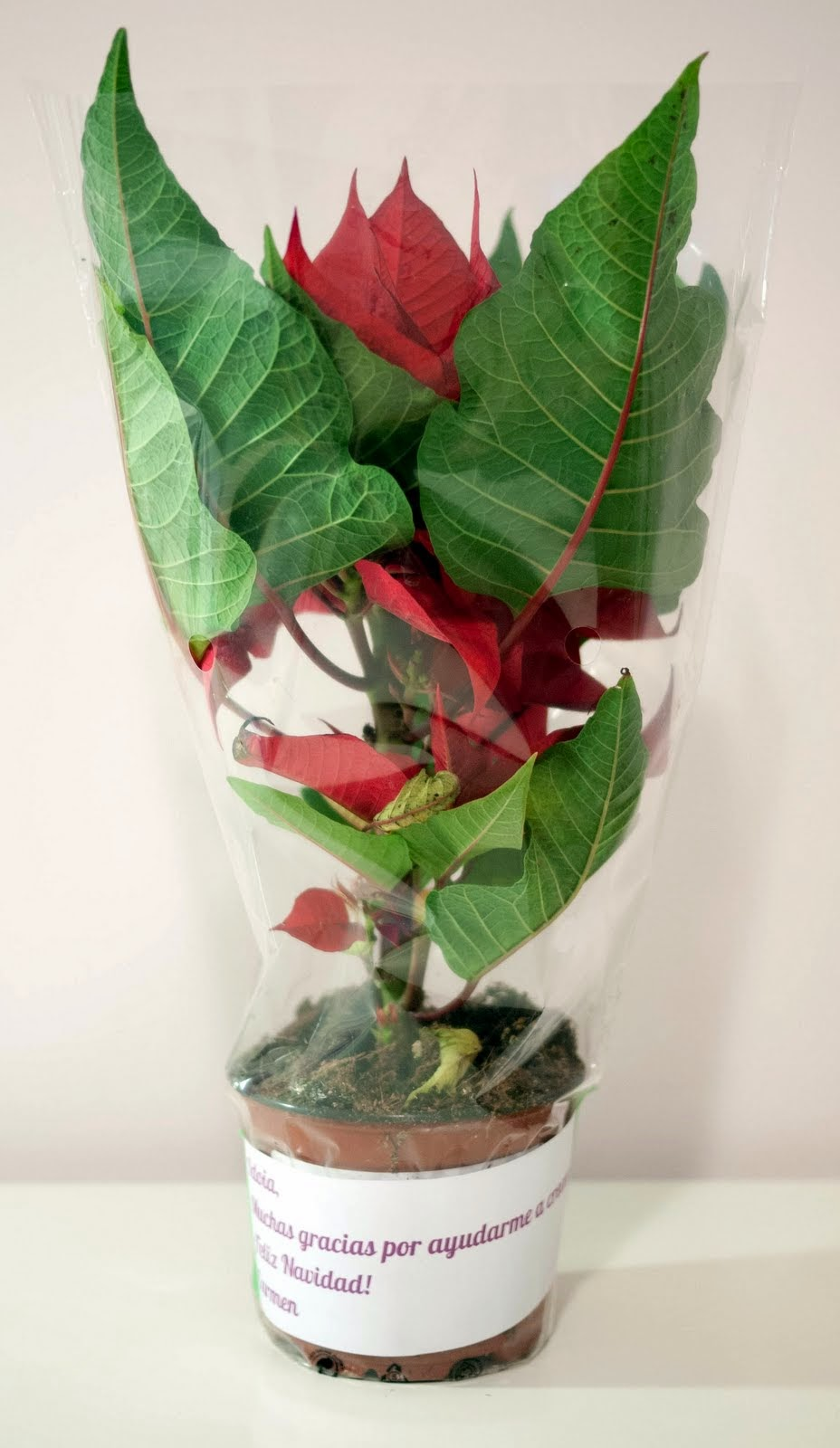 Flor de Pascua con mensaje para regalar a los profesores