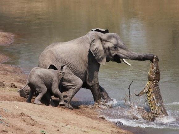 صور نادرة لتمساح يهاجم فيله على ضفاف النهر 463a9a92