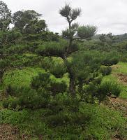 pinus thumbergii kuromatsu pinheiro negro