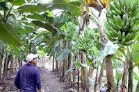 fincas de banano en Honduras