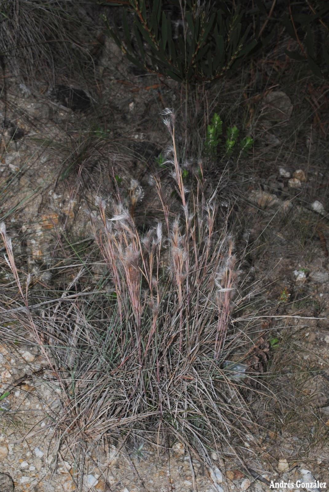 Fotos de flora nativa y adventicias de uruguay for Suelo pedregoso