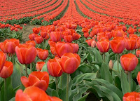 Champ de tulipes rouges