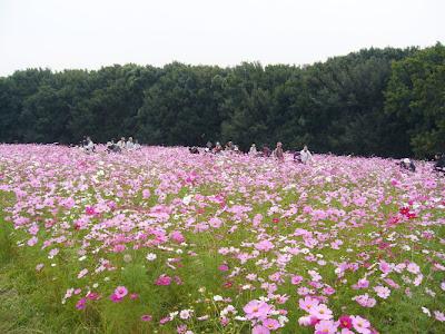 万博公園・自然文化園 花の丘 コスモス
