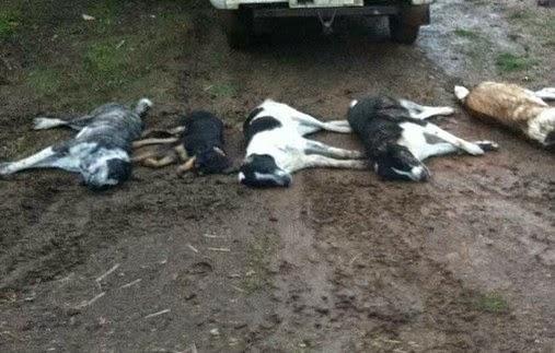 Ομαδική δηλητηρίαση τσοπανόσκυλων στον Γάβρο Καλαμπάκας...