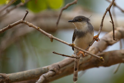 A photograph of an Ashy Prinia taken in Yala, Sri Lanka
