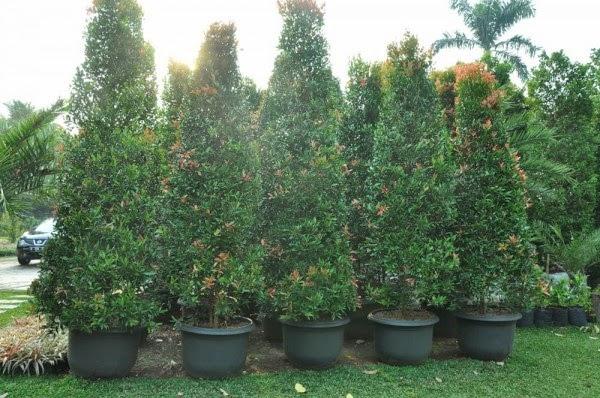 Tanaman Pohon Pucuk Merah