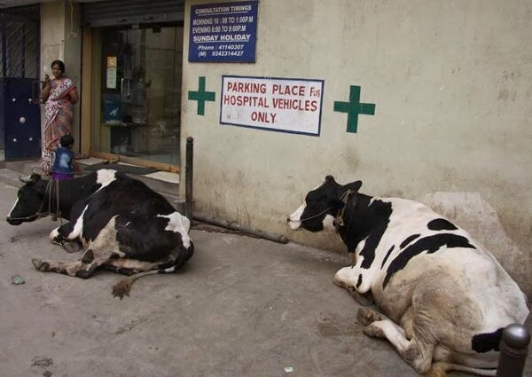 Funny animals of the week - 20 December 2013 (40 pics), cows sit at hospital park area