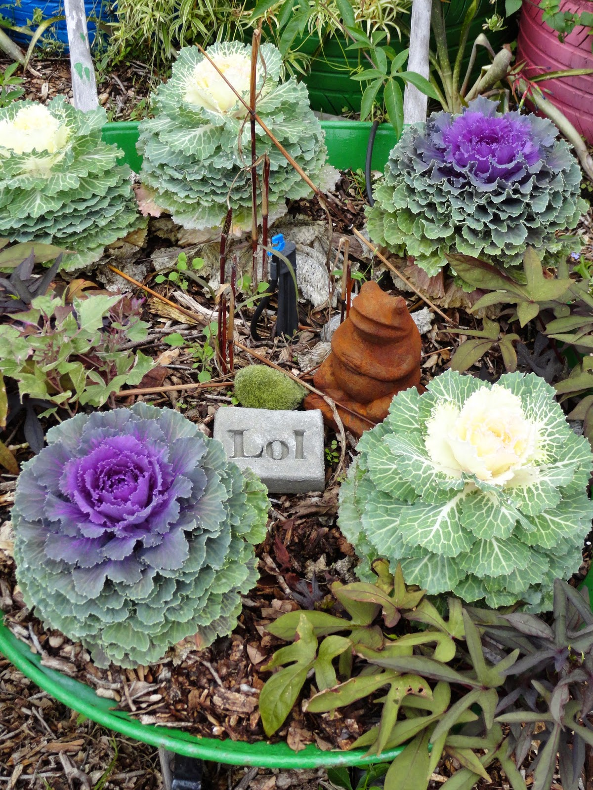 University of floridaifas charlotte county extension success with success with flowering kale and ornamental cabbage izmirmasajfo