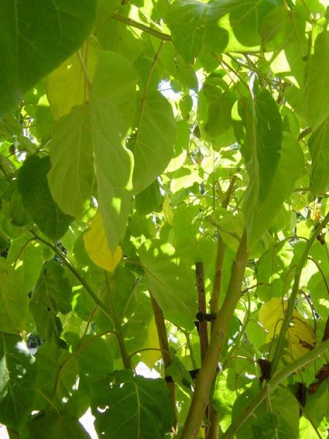 Solanum betaceum
