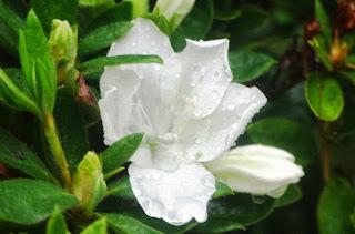 Luarca, Jardines de la Fonte Baixa, gardenia